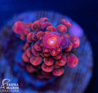 FMC Acropora red staghorn INDO (Filter- + Daylight-Shot picture!)  – Bild 1