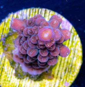 FMC Acropora red staghorn INDO (Filter- + Daylight-Shot picture!)  – Bild 2