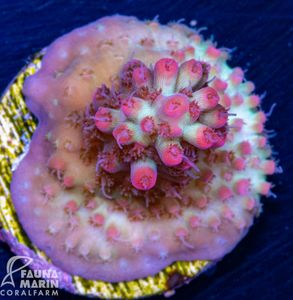 US Style Primefrags® Acropora microclados Strawberry Shortcake (Filter- + Daylight-Shot picture!) – Bild 2