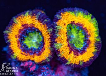 FMC Acanthastrea Rainbow (Filter- + Daylight-Shot!) – Bild 1