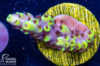 US Style Primefrags® Acropora Bumblebee