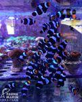 Amphiprion ocellaris black - Anemonenfisch - NACHZUCHT! 001