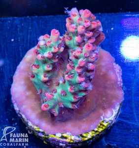 US Style Primefrags® Acropora microclados Strawberry Shortcake (Filter- + Daylight-Shot picture!) – image 2