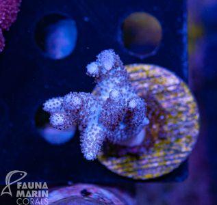 FMC Sinularia Hary White V