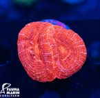 FMC Acanthastrea bowerbanki Red V (Filter- + Daylight-Shot picture!)