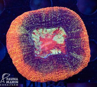 FMC Acanthastrea Bowerbanki V (Filter- + Daylight-Shot picture!)