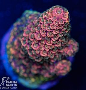 FMC Acropora spathulata rainbow (Filter- + Daylight-Shot picture!) – Bild 1