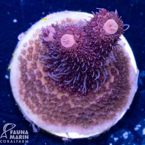 FMC Acropora red wine