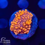 FMC Montipora Crazy T V (Filter- + Daylight-Shot picture!)  001