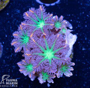 FMC Clavularia Tricolor V (Filter- + Daylight-Shot picture!)  – Bild 2