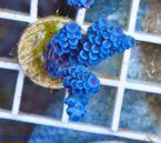 EC Nanofrag Acropora super-blue V15