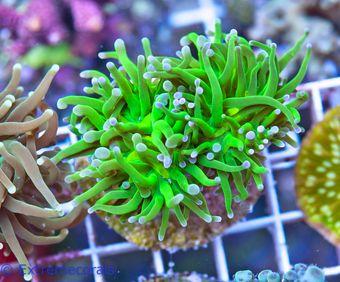 FMC Nanofrag Euphyllia glabrescens lemontip green V7