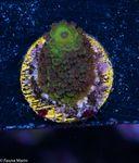FMC  Nanofrag Acropora Staghorn green 001