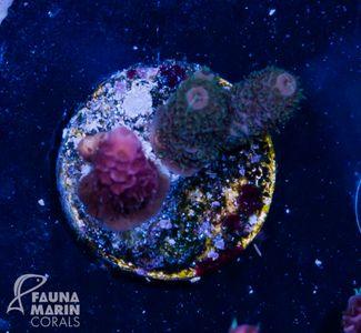 FMC Nanofrag Acropora Millepora double