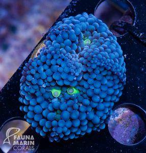 FMC Nanofrag Ricordea Florida