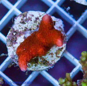 EC Nanofrag Montipora red V5 – image 3