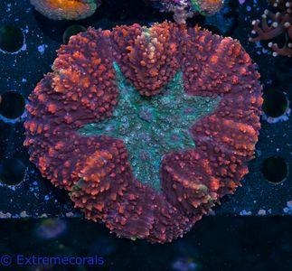 DNS Lobophyllia tricolor