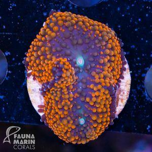 FMC Nanofrag Ricordea Florida Orange Rim