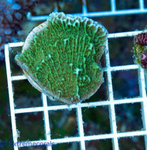 FMC Nanofrag Montipora Green V6