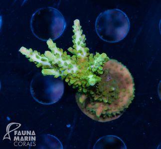 FMC Nanofrag Acropora Green Stag