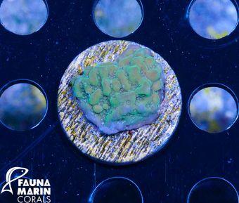 FMC Nanofrag Montipora undata bicolor