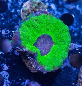 FMC Nanofrag Moseleya latistellata super-green