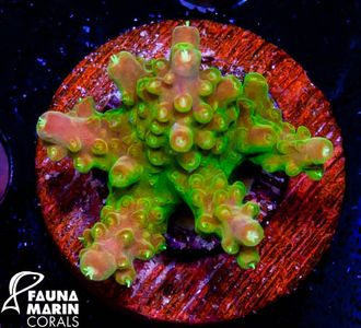 US Style Primefrags® Acropora Sourpatch