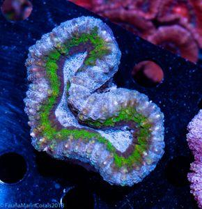 CNS Lobophyllia supercolor
