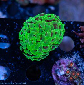 CNS Euphyllia green flouro supercolor V7