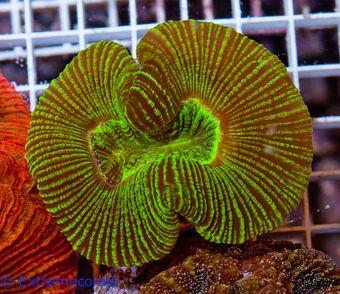 CNS Trachyphyllia green V6 – image 2