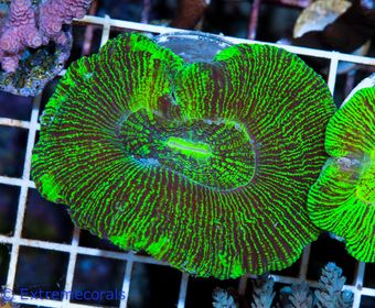 CNS Trachyphyllia green V6 – image 1