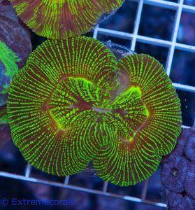 CNS Trachyphyllia green V6 – Bild 3