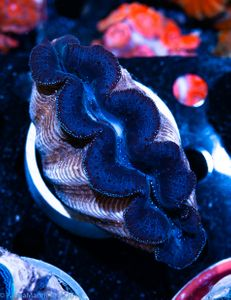 Tonga Tridacna crocea black+blue
