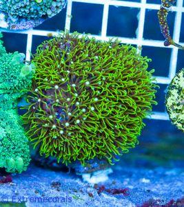 FMC Nanofrag Briareum super-green -V5 – Bild 1