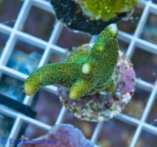 FMC Nanofrag Montipora green V4 – image 2