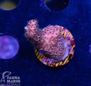 FMC Nanofrag Acropora millepora