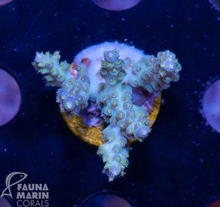FMC Nanofrag Acropora aussie blue