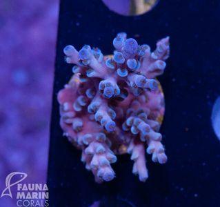 FMC Nanofrag Acropora echinata blue