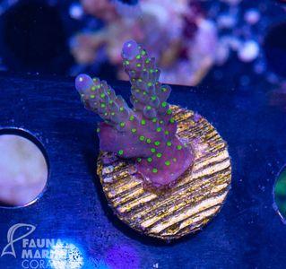 FMC Nanofrag Acropora tricolor