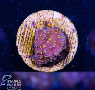 FMC Nanofrag Montipora Uranus