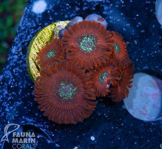 FMC Nanofrag Zoanthus Red Magicians