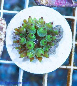 Cribrinopsis crassa Mini-Anemone S V5