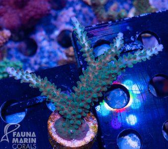 FMC Nanofrag Acropora staghorn pink tips