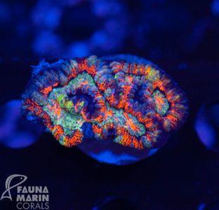 US Style Primefrags® Wellsophylia rainbow (Filter Shot)