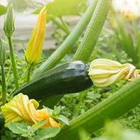 Zucchinisamen