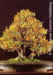 Tropica Bonsai: Zwerg-Apfelsine