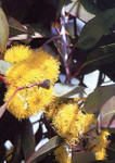Tropica Schnee-Eucalyptus