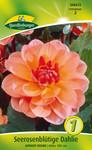 Seerosenblütige Dahlie Apricot Desire | Seerosendahlienzwiebeln von Quedlinburger