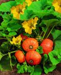 Buttercupkürbis Amazonka   Buttercupkürbissamen von Jansen Zaden