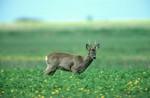 BDB Herbstäsungsgemisch für Hochwild (10 kg)   Wildackersamen von Kiepenkerl